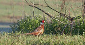 Ring-necked Pheasant — Stock Photo