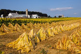 Tobacco Harvest — Stock Photo