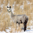 Alpaca in Snow — Stock Photo