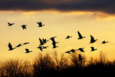 Snow Geese at Sunset — Stock Photo