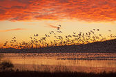 Snow Geese Flying at Sunrise — Stock Photo
