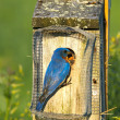 Eastern Bluebird Feeding — Stock Photo #39879189