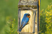 Eastern Bluebird Feeding — Stock Photo