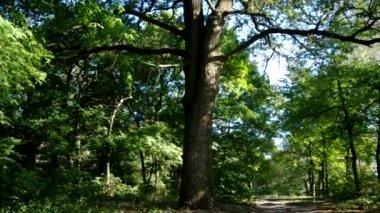 Spruce Tree Forest in Last Sunlight — Stock Video
