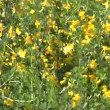 Stock Video: Yellow flowers spring