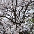 Blossoming apricot tree — Stock Video