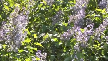 Blossoming bush of a lilac — Stockvideo