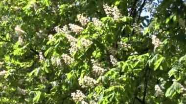 Blossoming tree of a chestnut — Stock video