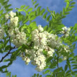 Stock Video: Blossoming branch of acacia