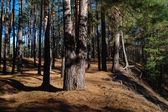 Morning in pine forest. — Stock Photo