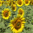 Sunflowers field — Stock Video