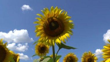Sunflowers field — Stock Video