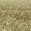Field of golden wheat — Video Stock