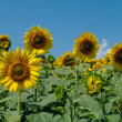 Stock Photo: Sunflower field and cloudy sky