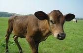 Выпас скота на пастбищах, свежий молодой бык — Стоковое фото