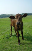 Young bull grazing in fresh pastures — Stock Photo