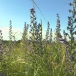 Beautiful flowers meadow field against blue sky and sunset with wind — Stock Video