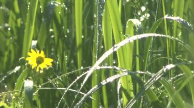 Green grass in morning dew — Stock Video