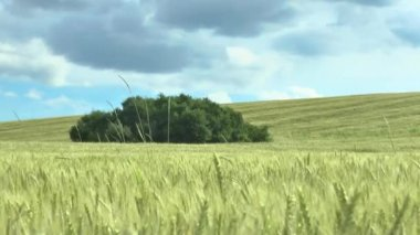 Field of green wheat and cloudy sky — Stock Video