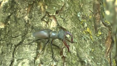 Stag-Beetle on a tree — Stock Video