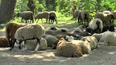 Flock of sheep and resting in the shade of the trees — Stock Video