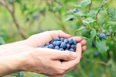 Picking Blueberries — Stock Photo