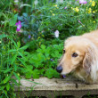 Stock Photo: Miniature long hair dachshund in the flower garden