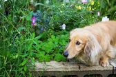 Miniaturowy jamnik długie włosy w pełnym kwiatów ogrodzie — Zdjęcie stockowe