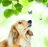 Dachshound with blue butterflies — Stock Photo