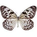 a borboleta de papagaio de papel — Foto Stock