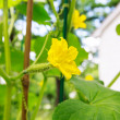 Young cucumber with flowers in a garden — Foto de Stock