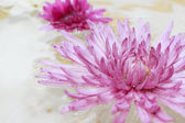 Pink spa flower floating — Stock Photo
