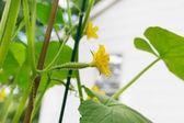 花园里的花与年轻黄瓜 — 图库照片