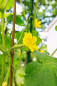 Young cucumber with flowers in a garden — Stock Photo