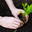 Stock Photo: Planting young lettuce in garden