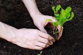 посадка молодых салата в саду — Стоковое фото