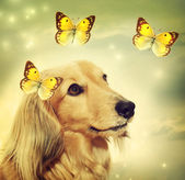 Dachshund dog with butterflies — Stock Photo