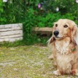 Stock Photo: Dachshund with Long Hair Outdoors