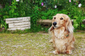 Dachshund with Long Hair Outdoors — Stock Photo