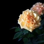 Roses on Black Background — Stock Photo