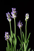 Lavender Flowers on a black background — Stock Photo