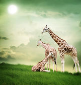 Giraffe family — Stock Photo