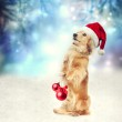 Dachshund dog with Santa hat holding Christmas baubles — Stock Photo