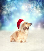 Dachshund dog with Santa hat — Stock Photo