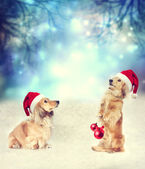 Two Dachshund dogs with Santa hats together — Stock Photo