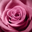 Beautiful pink rose — Stock Photo #38728847