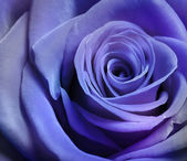 Beautiful purple rose — Stock Photo