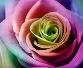 Beautiful colorful rose — Stock Photo