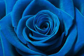Beautiful blue rose — Stock Photo
