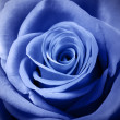 Beautiful light blue rose — Stock Photo